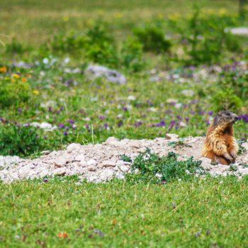 Marmot in Valle Ombretta, Dolomites, Italy