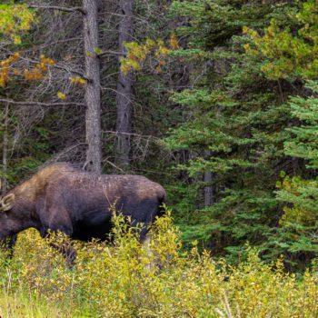 Male moose, Kananaskis Country