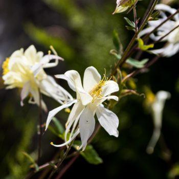 Aquilegia pubescens or Sierra columbine